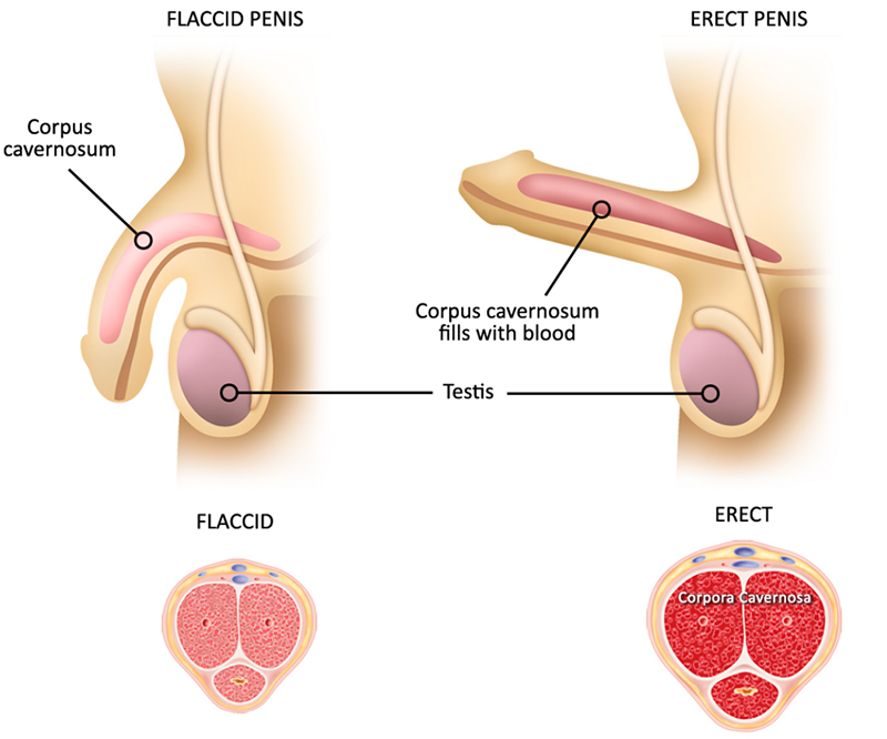 Все что нужно знать о половом члене. От анатомии до гигиены и болезней