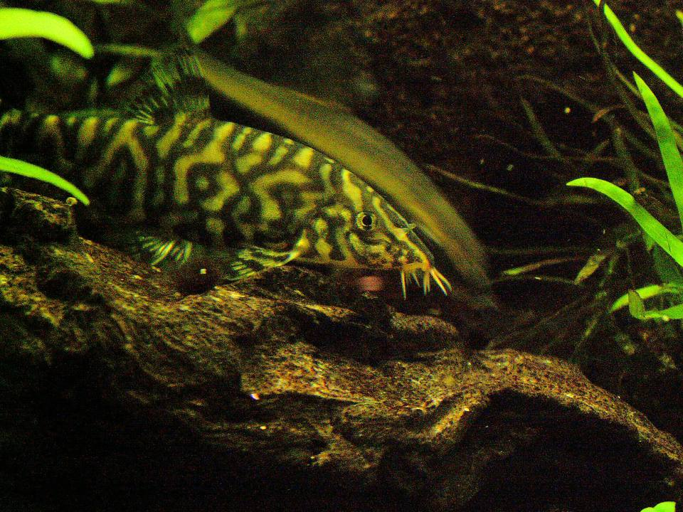 Thinking Of Buying Cichlid Fish- Here Are Some Tips To Take Care